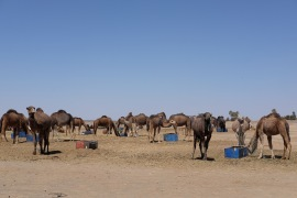 Hassilabied's camels